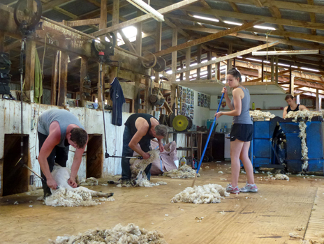 Sheep Shearing at Whenuanui Farm, Helensville, New Zealand