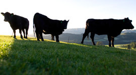 Beef Farming in New Zealand